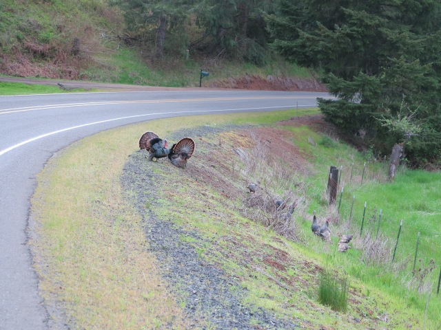 Turkeys along the road.