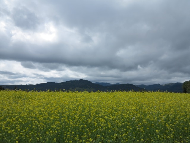 Canola, I think, fields just east of Brownsville, OR. April 28, 2013