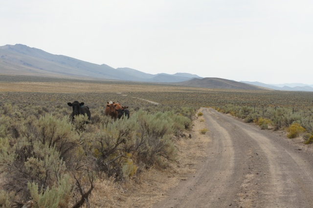 Rincon Flat, cattle, Lone Mt Loop. Photo courtesy Christian Abächerli