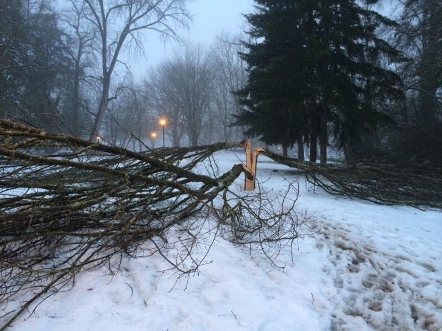 This is just one of the many trees damaged by the February 2014 snow storm